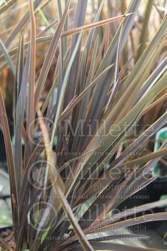 Phormium Dark Delight (New Zealand Flax) 2