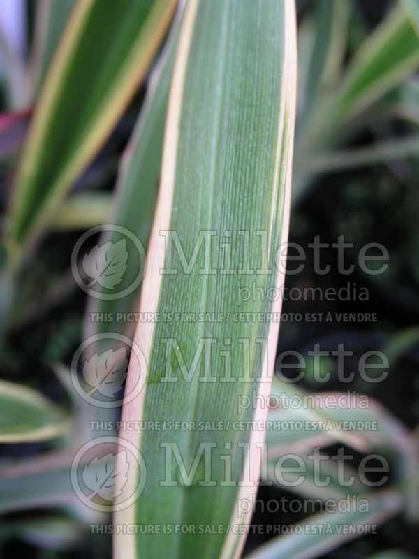 Phormium Duet (New Zealand Flax) 1