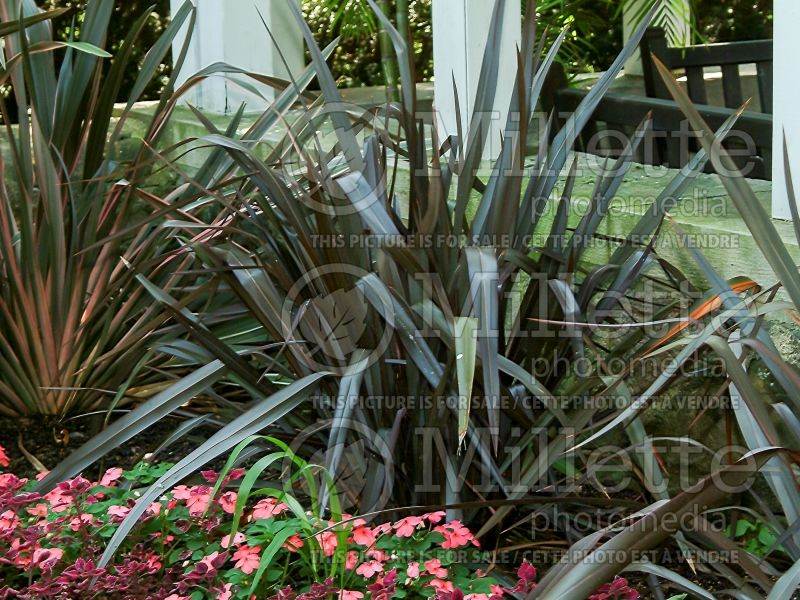 Phormium Dusky Chief (New Zealand Flax) 3