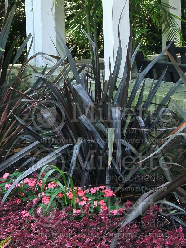 Phormium Dusky Chief (New Zealand Flax) 4