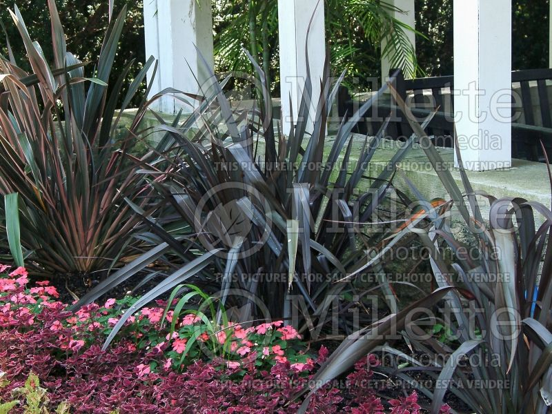 Phormium Dusky Chief (New Zealand Flax) 5