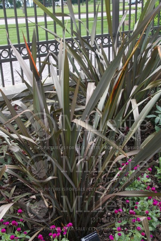 Phormium Dusky Chief (New Zealand Flax) 1