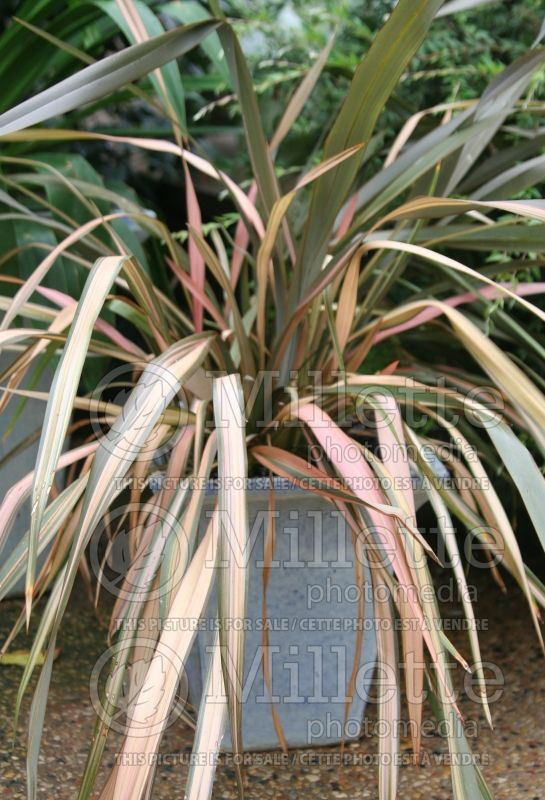 Phormium Flamingo (New Zealand Flax) 1
