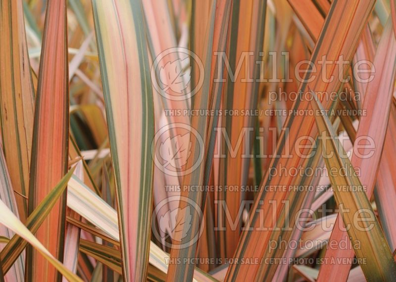 Phormium Flamingo (New Zealand Flax) 2