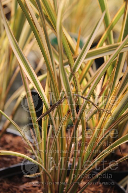 Phormium Golden Ray (New Zealand Flax) 1