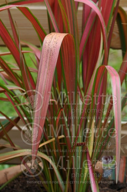 Phormium Jester (New Zealand Flax) 2