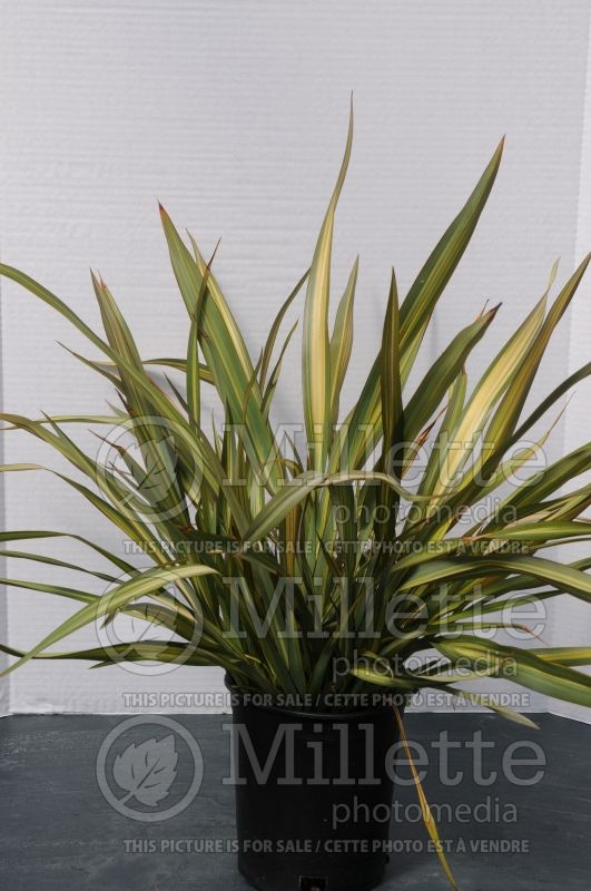 Phormium Lancer Green and Yellow (New Zealand Flax) 1