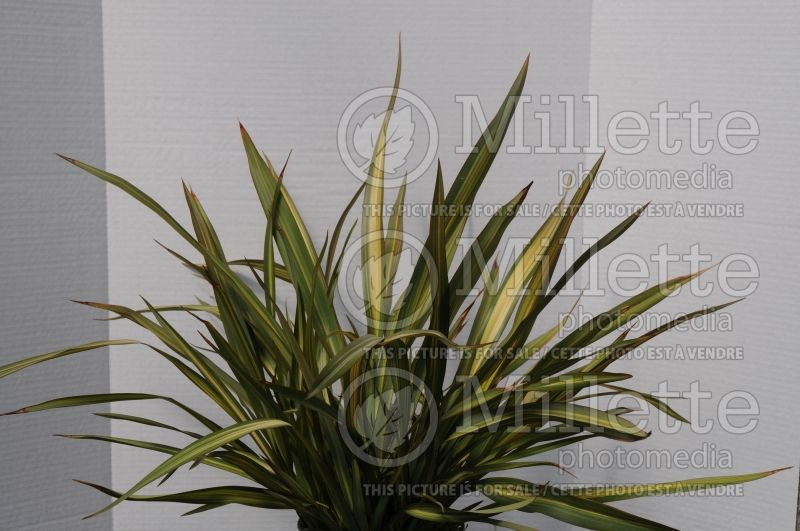 Phormium Lancer Green and Yellow (New Zealand Flax) 2