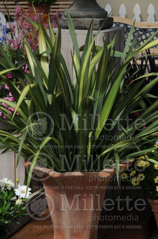 Phormium Lancer Green and Yellow (New Zealand Flax) 3
