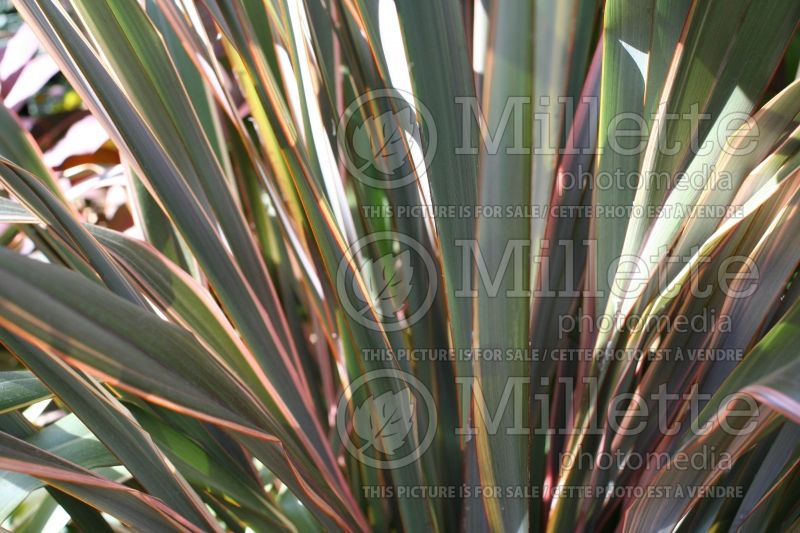 Phormium Maori Chief (New Zealand Flax) 1
