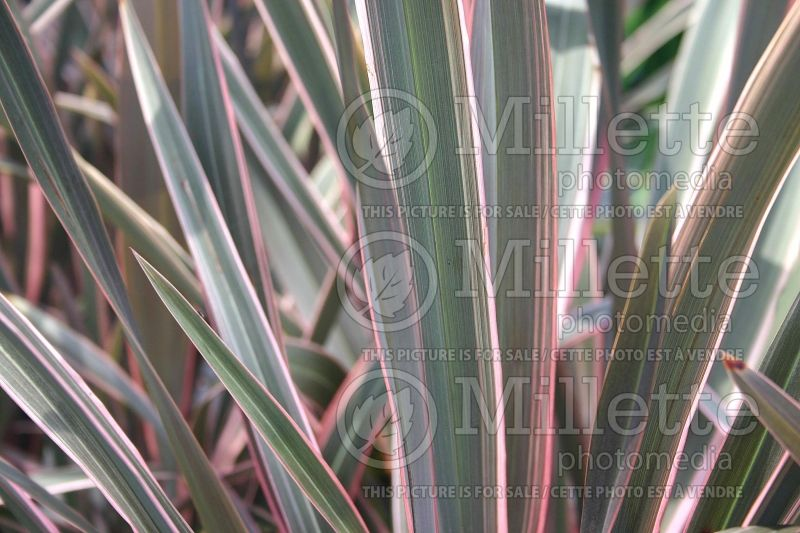 Phormium Pink Stripe (New Zealand Flax) 1