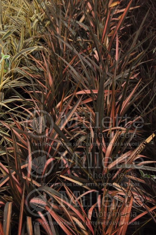 Phormium Rainbow Sunrise (New Zealand Flax) 2