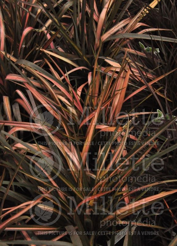 Phormium Rainbow Sunrise (New Zealand Flax) 1