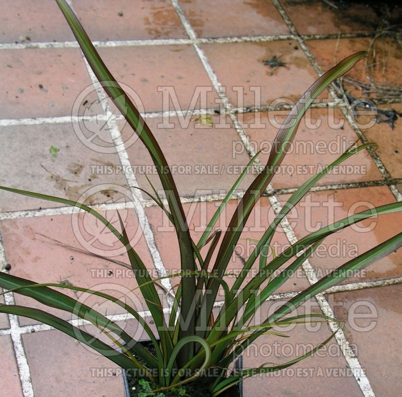 Phormium Surfer (New Zealand Flax) 1