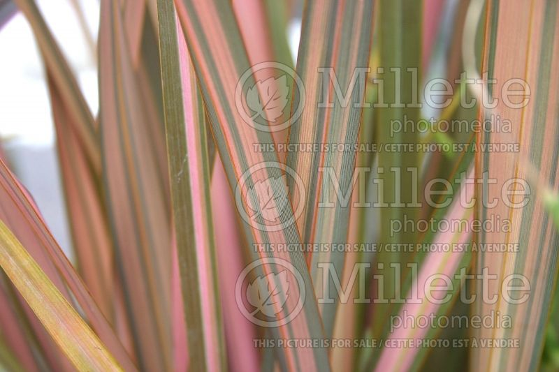 Phormium Maori Sunrise (New Zealand Flax) 1