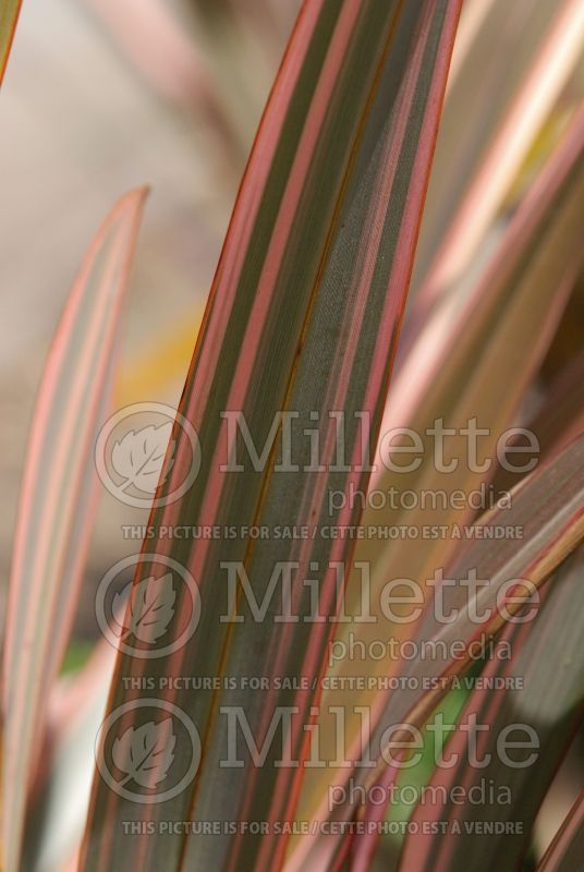 Phormium Tony Tiger (New Zealand Flax) 2