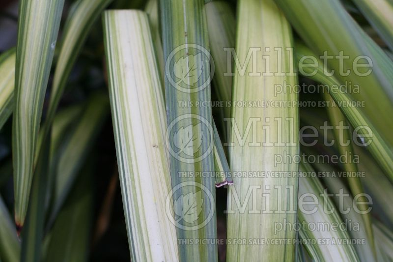 Phormium Yellow Wave (New Zealand Flax) 2