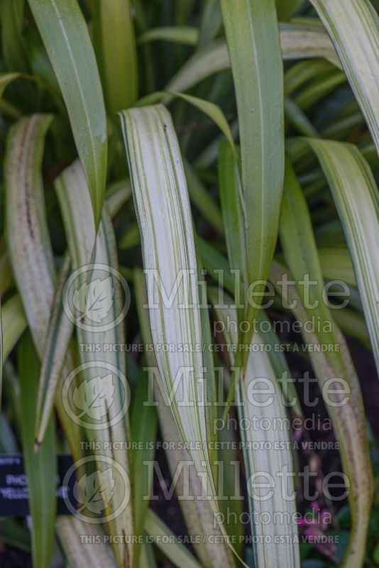Phormium Yellow Wave (New Zealand Flax) 5