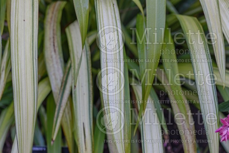 Phormium Yellow Wave (New Zealand Flax) 3