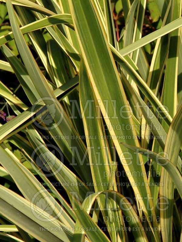 Phormium Wings Of Gold (New Zealand Flax) 1