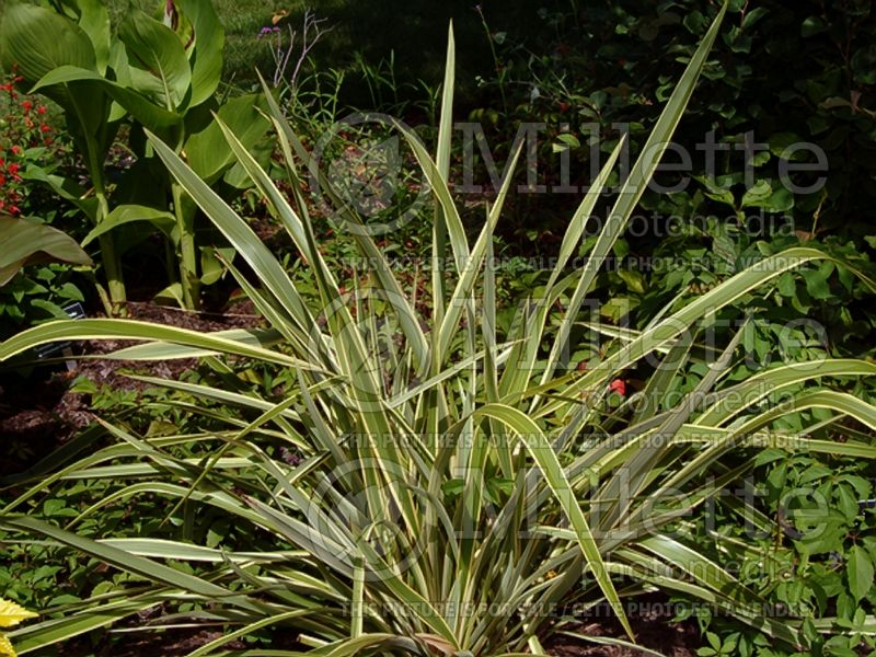 Phormium Wings Of Gold (New Zealand Flax) 2