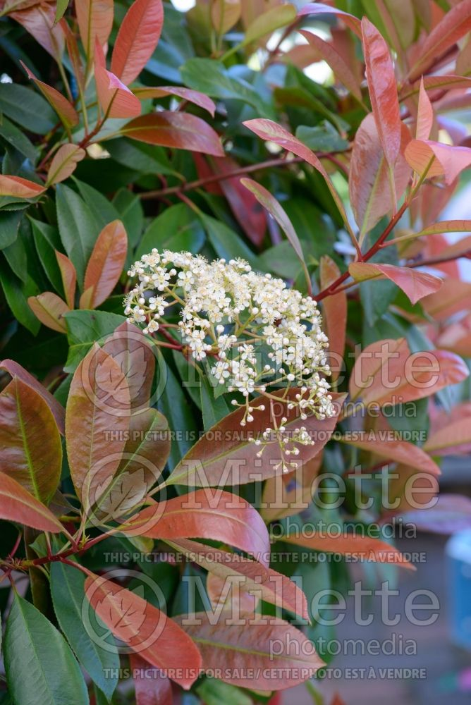 Photinia Red Robin (Christmas berry) 3