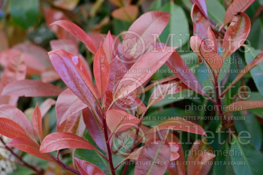 Photinia Red Robin (Christmas berry) 2