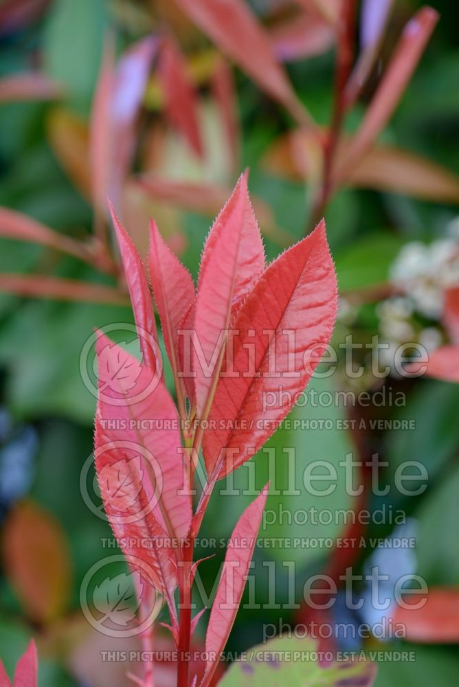 Photinia Red Robin (Christmas berry) 1