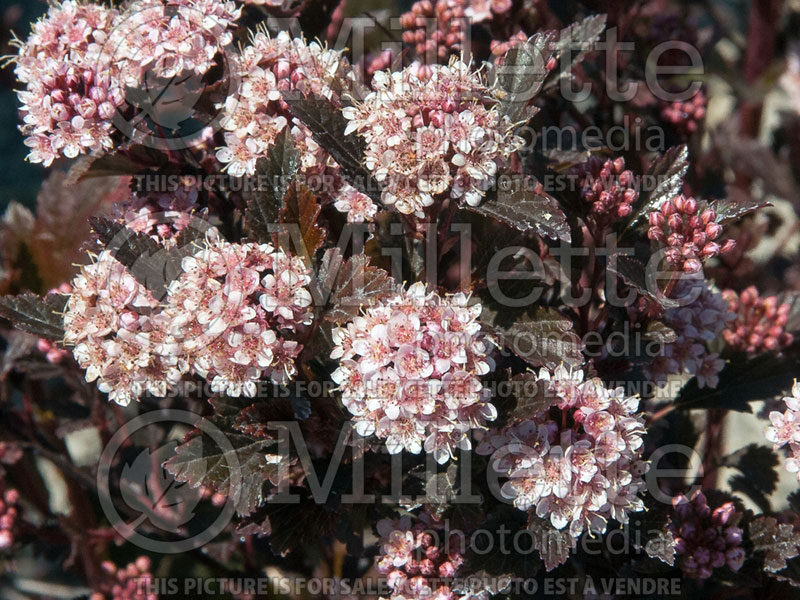 Physocarpus Little Devil or Donna May (Ninebark) 1