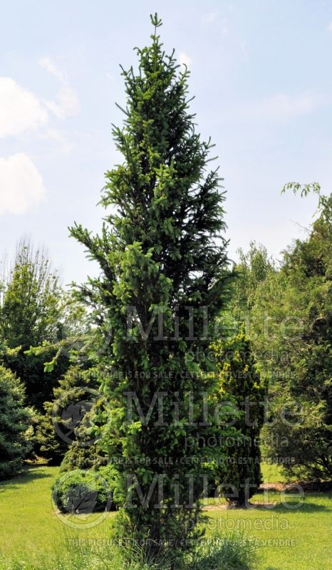 Picea Columnaris (Spruce conifer)  1
