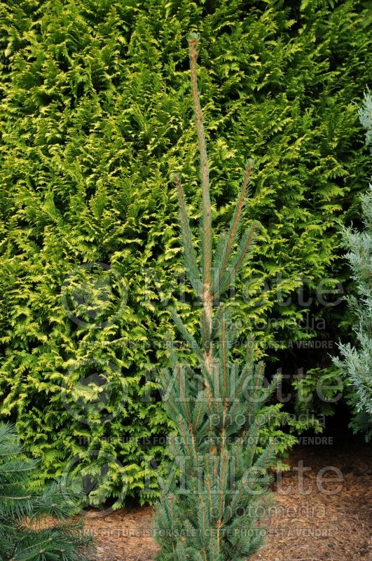 Picea Columnaris (Spruce conifer)  2