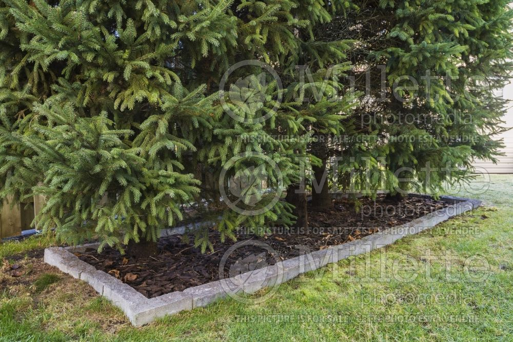 Picea abies - Norway Spruce trees in cut stone border with tree bark mulch 1