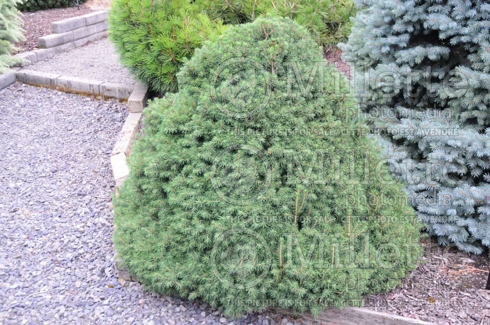 Picea Tompa (Norway spruce conifer) 2