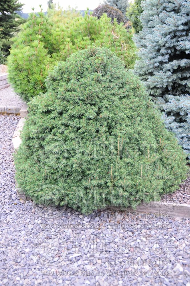 Picea Tompa (Norway spruce conifer) 3