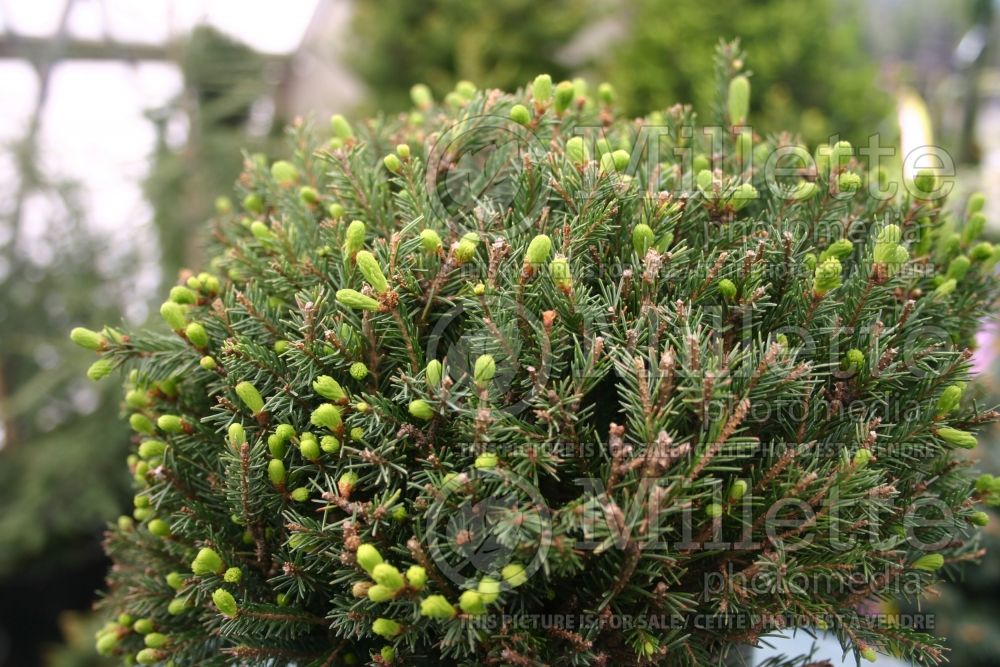 Picea Echiniformis (Spruce hedgehog conifer) 2