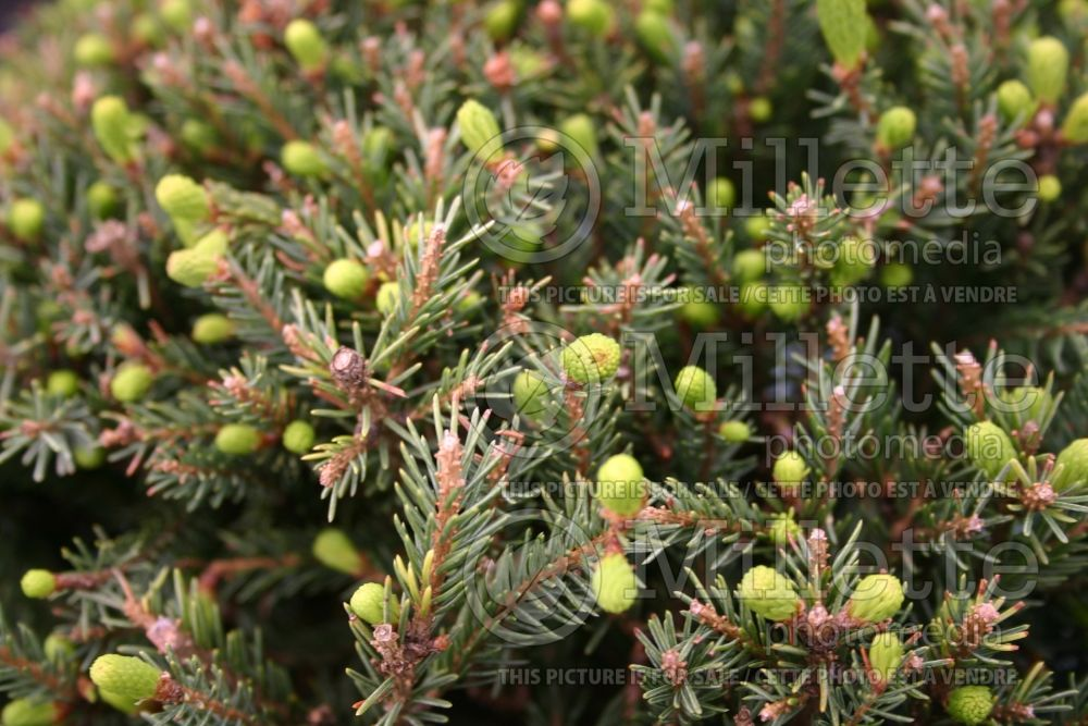 Picea Echiniformis (Spruce hedgehog conifer) 3
