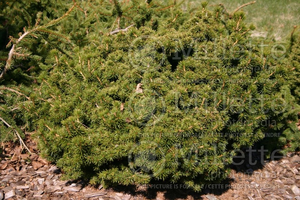 Picea Echiniformis (Spruce hedgehog conifer) 6