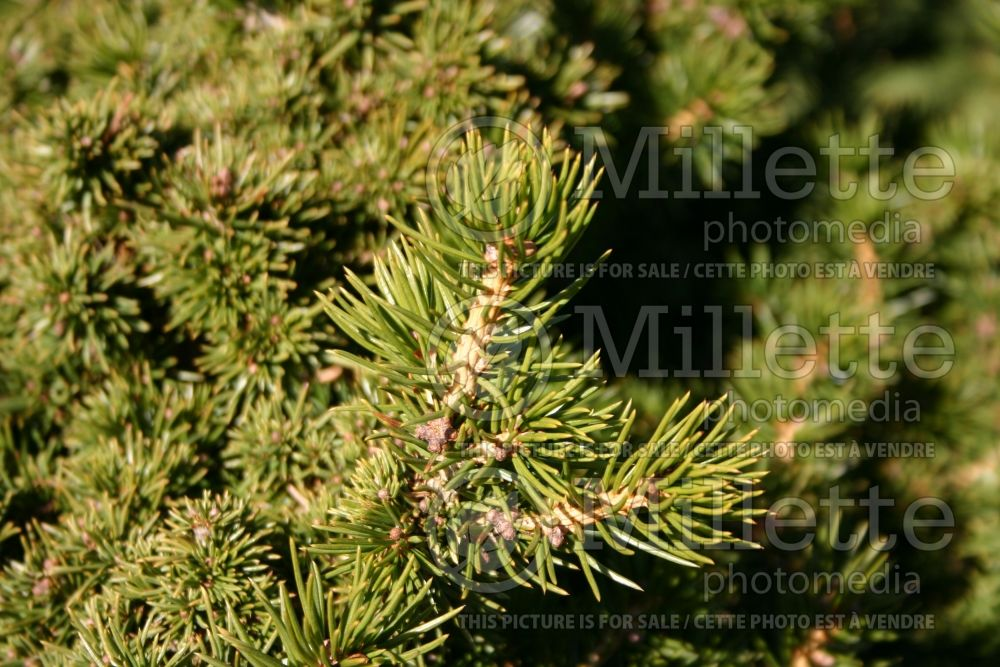 Picea Echiniformis (Spruce hedgehog conifer) 7