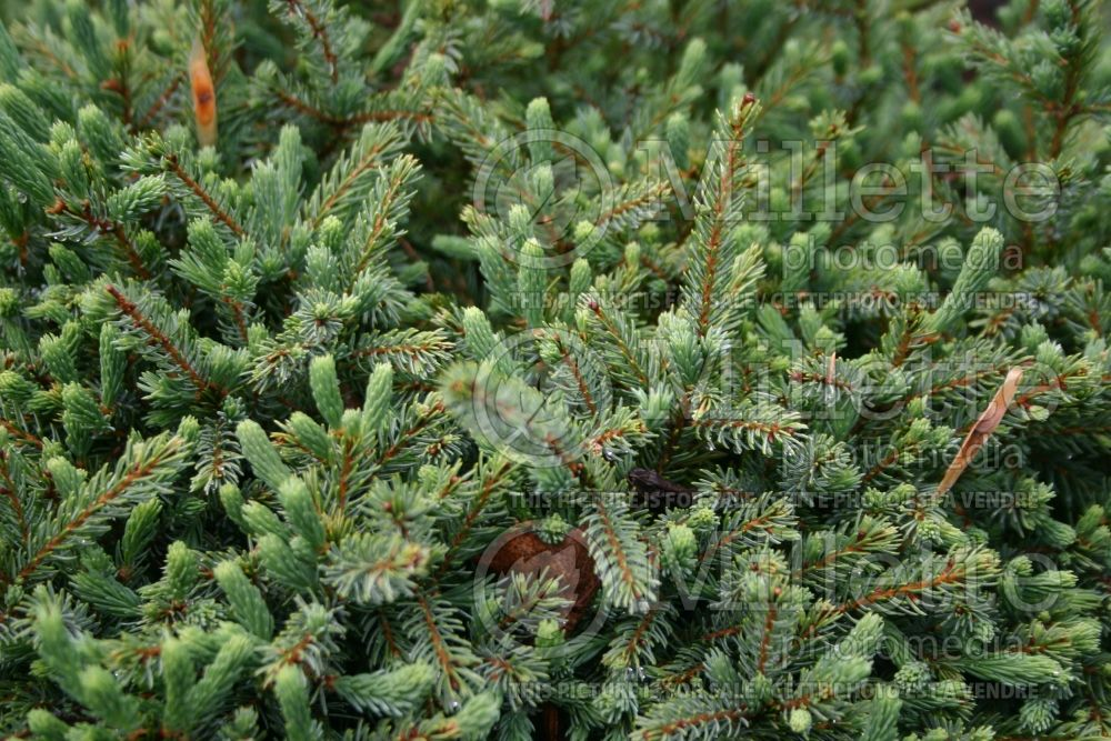 Picea Echiniformis (Spruce hedgehog conifer) 9