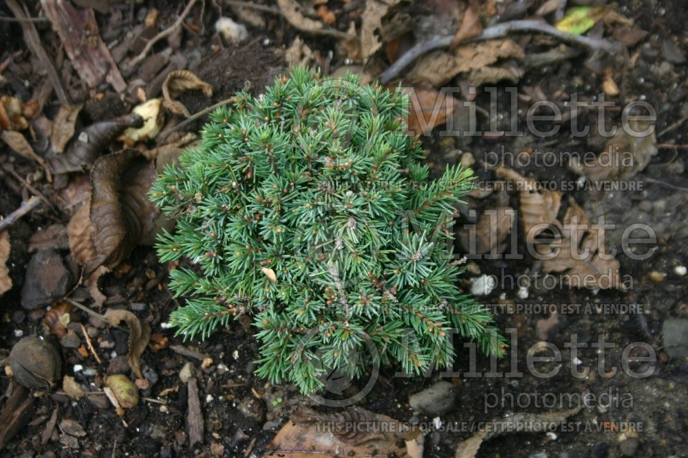 Picea Echiniformis (Spruce hedgehog conifer) 16