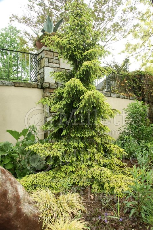 Picea Skylands (Oriental Spruce conifer)  2