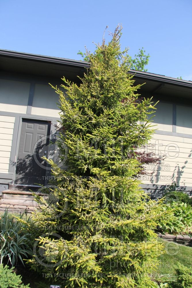 Picea Skylands (Oriental Spruce conifer) 8