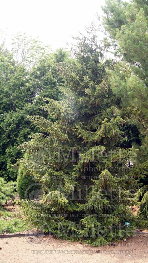 Picea Skylands (Oriental Spruce conifer) 9