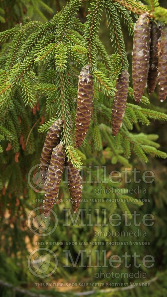 Picea Skylands (Oriental Spruce conifer) 10