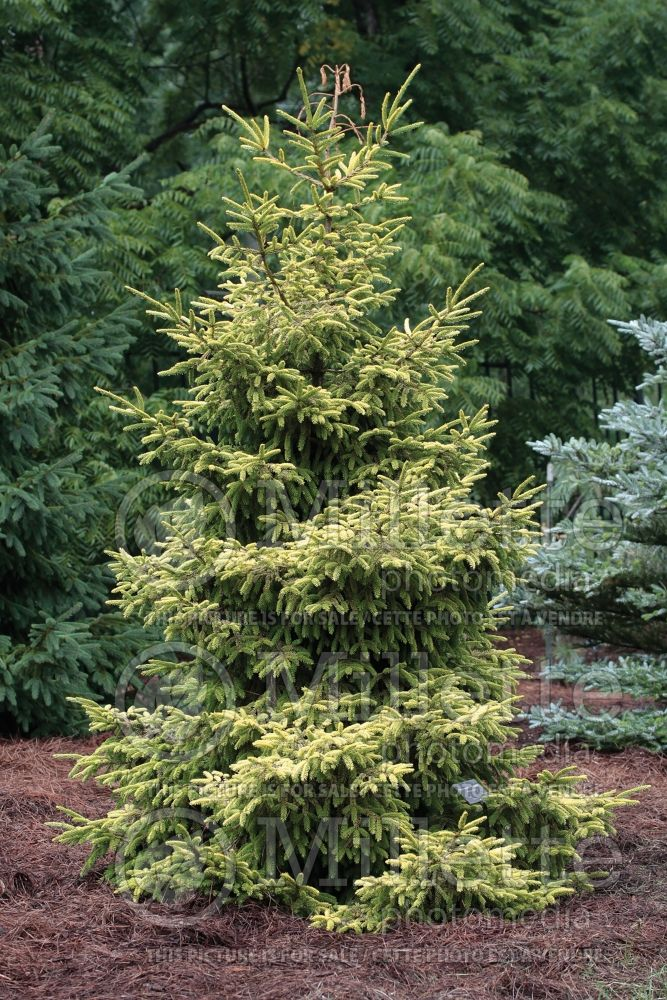 Picea Skylands (Oriental Spruce conifer) 6
