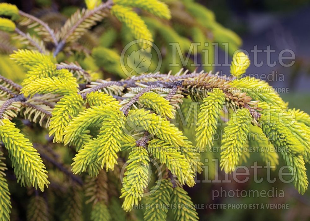 Picea Skylands (Oriental Spruce conifer) 7