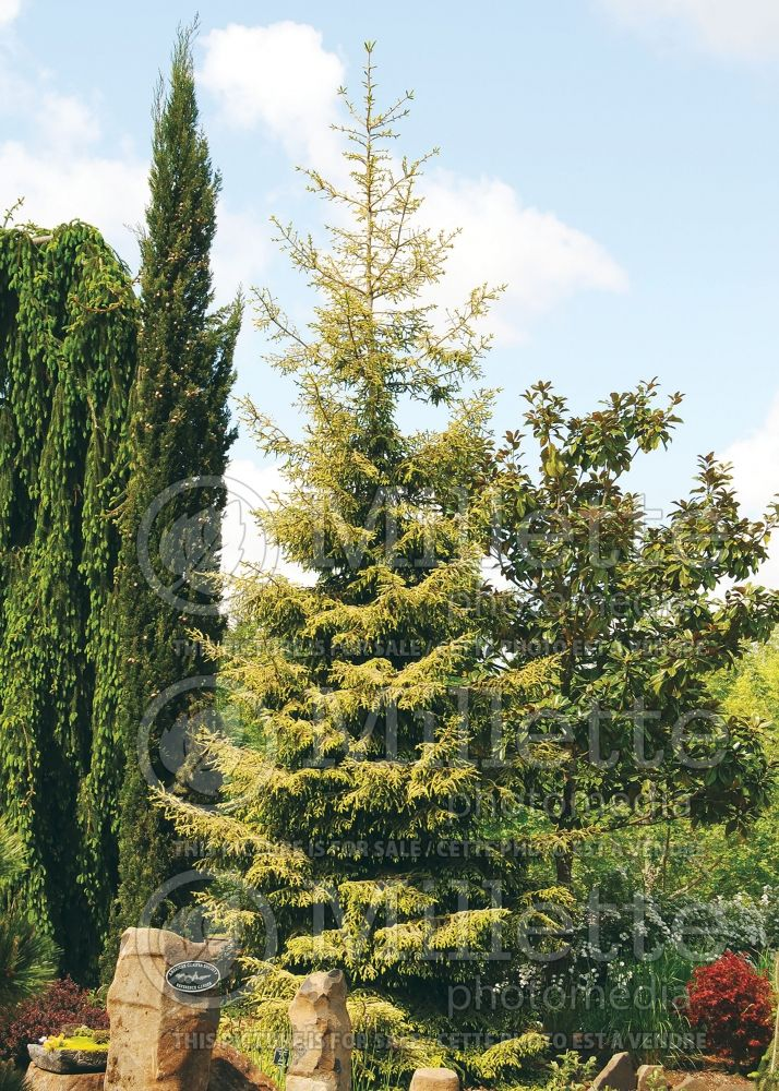 Picea Skylands (Oriental Spruce conifer) 4
