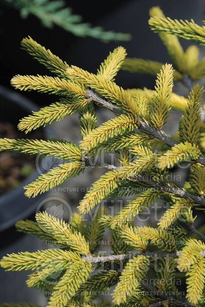 Picea Skylands (Oriental Spruce conifer) 5