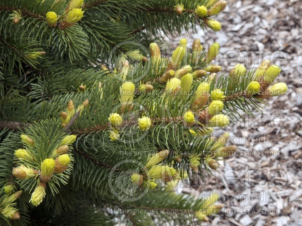 Picea Gebelle's Golden Springs (Serbian spruce Mountain Spruce conifer) 2