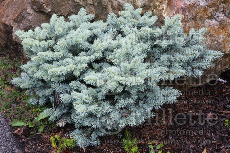Picea Saint Mary's Broom or St. Mary's Broom (Colorado Spruce, Blue Spruce conifer) 3
